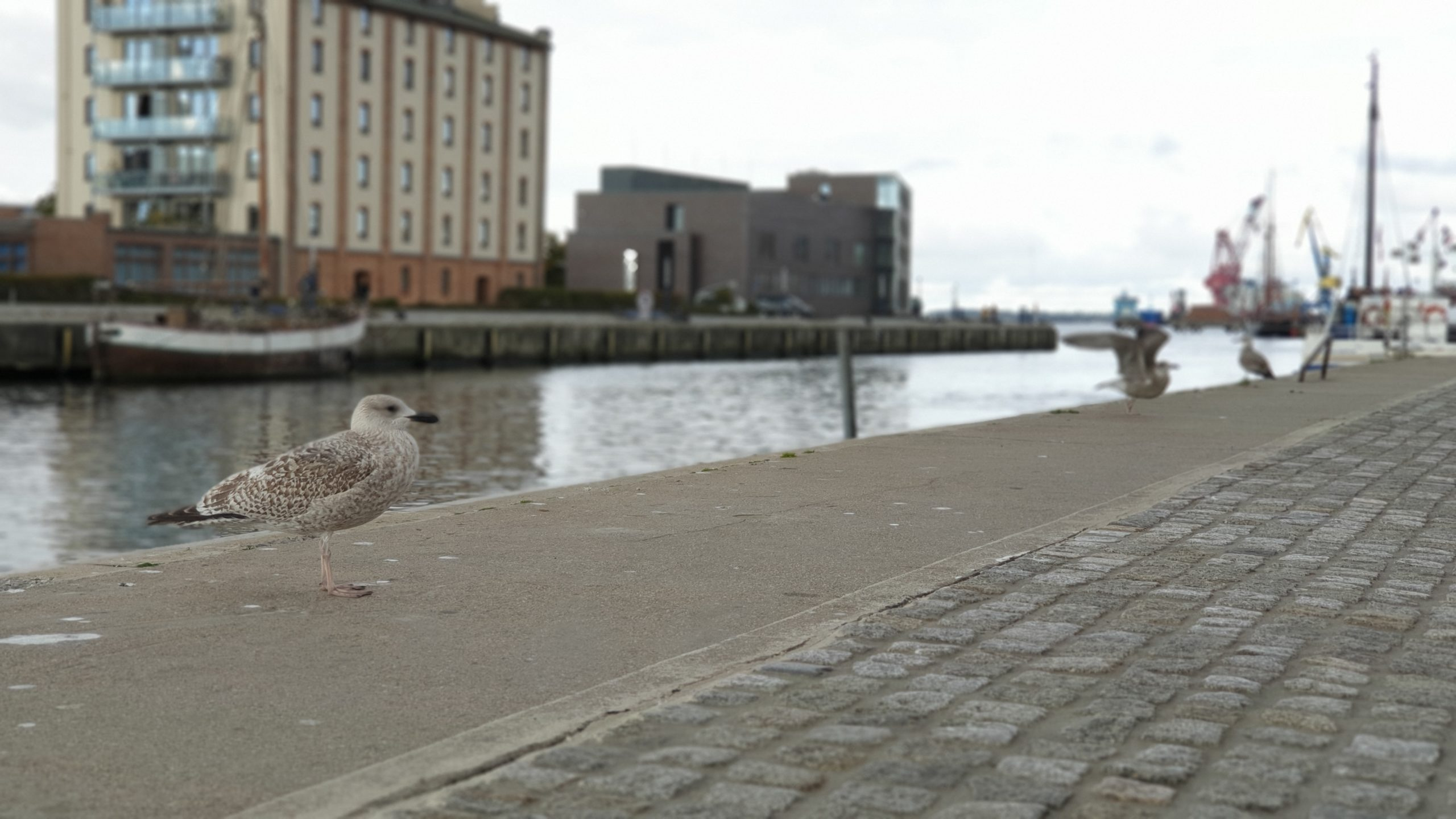 Big Seagull chick in Wismar, Germany