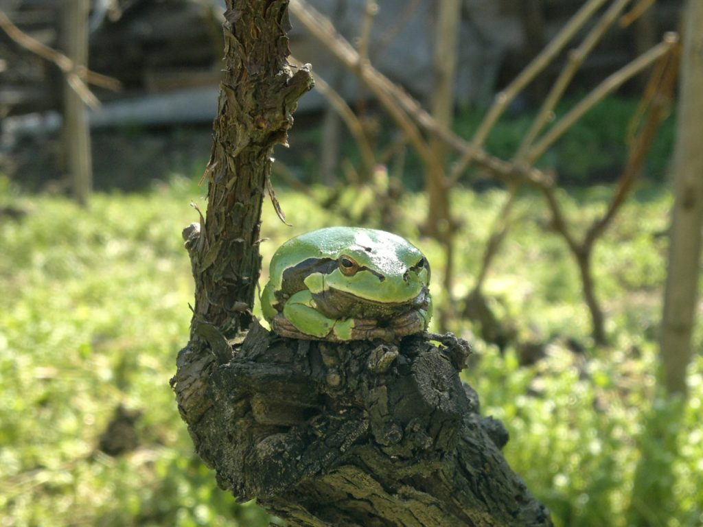 Adorable Green Tree Frog sitting on a grape vine trunk